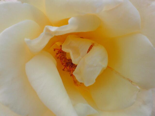 ばらの花…。