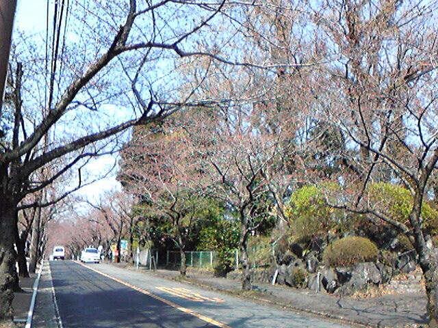 伊豆高原の桜並木…。